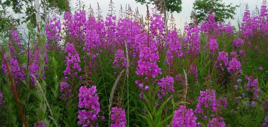 цветы чанг шу